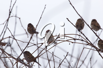 flock of sparrows on the bare branches of a tree
