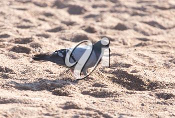 dove on the sand