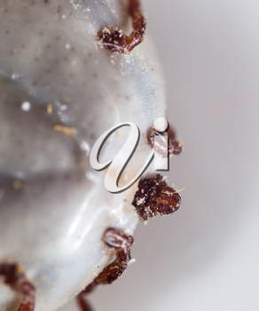 beetle mite as a background. super macro
