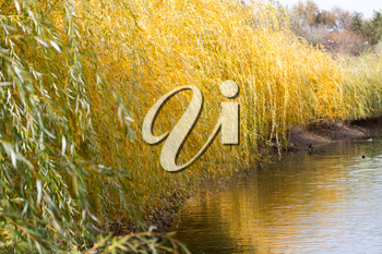 yellow willow outdoors in autumn
