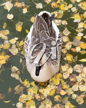 duck on the lake in autumn