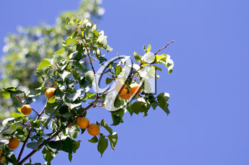 Ripe apricots in nature