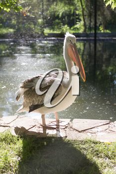 Pelican in nature