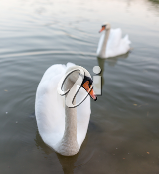 two swans in a pond in nature