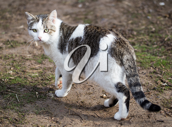 Cat walks on nature in the spring .