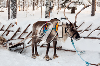 reindeer and sleigh in winter forest