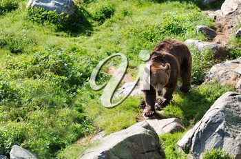 Europena Brown bear walking in the forests of Finalnd