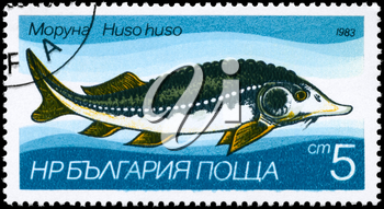 BULGARIA - CIRCA 1983: A Stamp printed in BULGARIA shows image of a Sturgeon with the description Huso huso from the series Fresh-water Fish, circa 1983