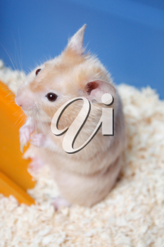 Royalty Free Photo of a Hamster in a Cage