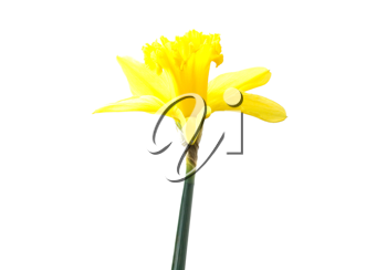 Royalty Free Photo of a Daffodil