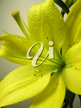 Royalty Free Photo of a Closeup of a Lily