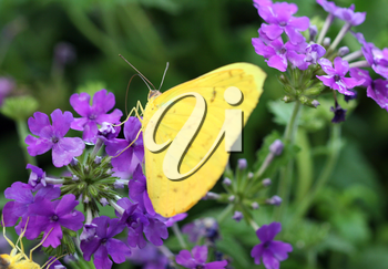Royalty Free Photo of a Butterfly on Flowers