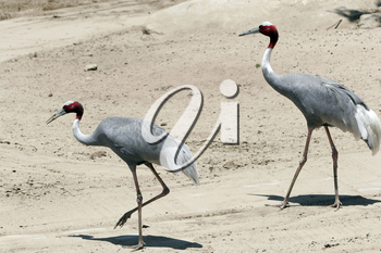Royalty Free Photo of White Naped Cranes