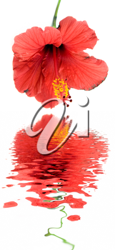 Royalty Free Photo of a Hibiscus Flower