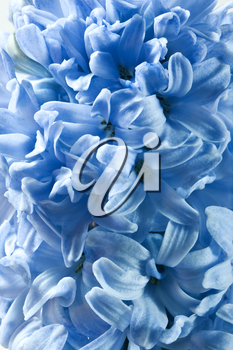 Royalty Free Photo of a Blue Hyacinth