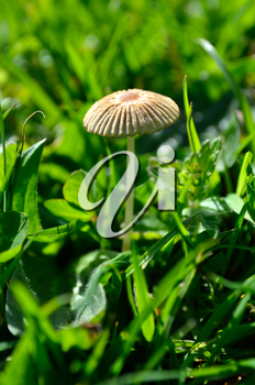 Fairy parasol fungi growing in a grassy meadow