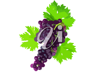 Black grape on cane vine with leafe. Vector