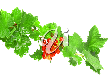 Red currant on branch with foliage . Close-Up. Isolated