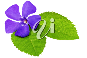 Violet flower on green leaf .Closeup on white background. Isolated .