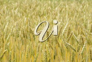 Royalty Free Photo of a Field of Wheat