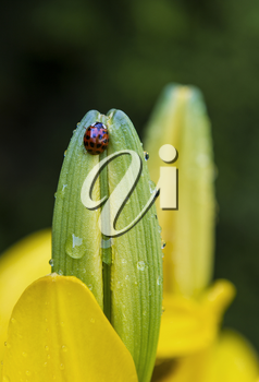 Lady bug on top of yellow tiger lily bud with green background