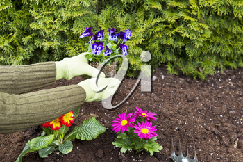 Two hands, wearing gloves, planting flowers in flowerbed with green bushes in background