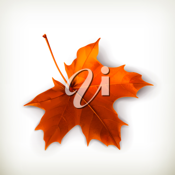 Maple leaf, vector