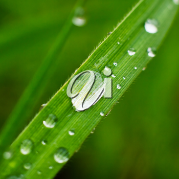 Fresh grass with dew drops closeup