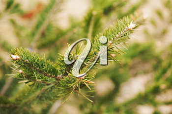 Green branch of the pine tree. Close up photo.