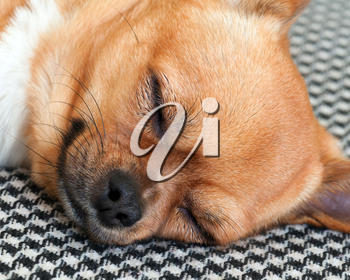 Sleeping Red Chihuahua Dog on Shemagh Pattern Background. Closeup.