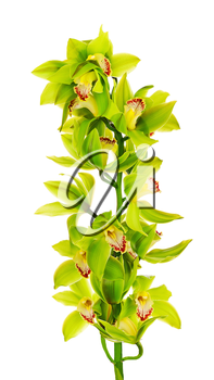 Blooming twig of green yellow purple orchids isolated on white background.