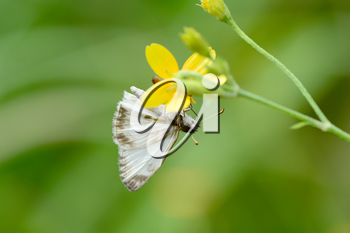 Veined White Skipper (Heliopetes arsalte) upside down on a yellow flower