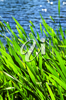Natural background of green reeds at water edge