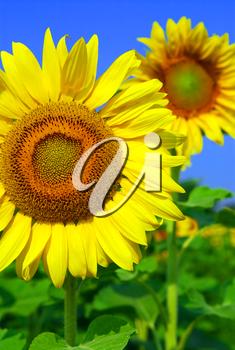 Close up on sunflowers in blooming sunflower field