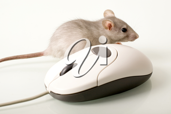 Metaphor: natural mouse and computer one together on a white background
