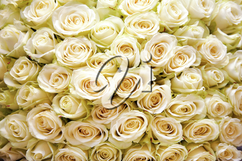 Background of many white roses in wedding or other holiday bouquet