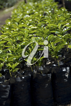 these are coffee plants ready to be put in the ground