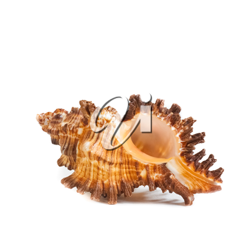 Sea Cockleshell Isolated On A White Background