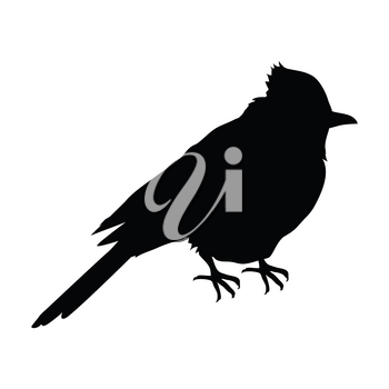 Blue jay vector. Birds wildlife concept in black color. North America fauna illustration for prints, posters, childrens books illustrating. Beautiful jay bird seating isolated on white.