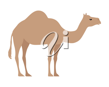 Camel isolated on white background. Even-toed ungulate within the genus Camelus, bearing distinctive fatty deposits known as humps on its back. Sticker for children. Vector design illustration
