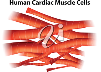 Illustration of the human cardiac muscle cells on a white background