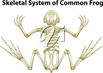 Illustration of a skeletal system of a common frog on a white background
