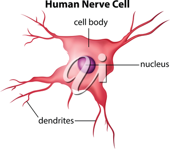 Illustration of the human nerve cell on a white background