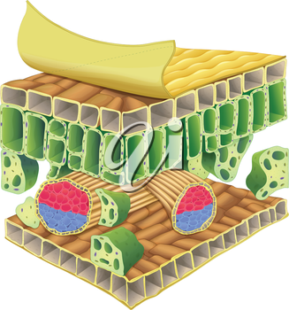 Cross section of plant vascular tissue