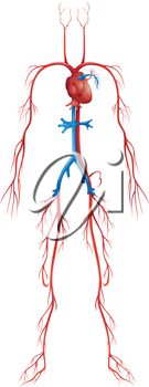 Illustration of isolated human circulatory system