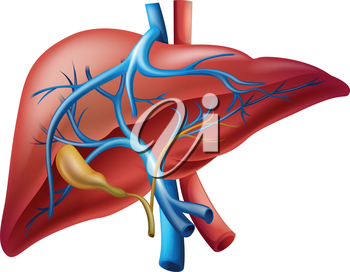 Illustration of the human internal liver
