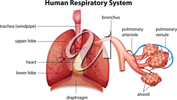 Illustration showing the human respiratory system