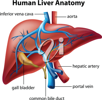 Illustration of the human liver anatomy