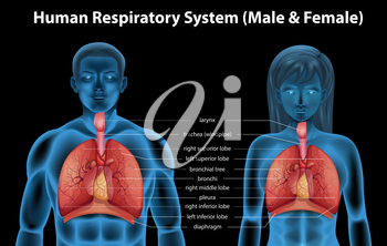 The human respiratory system of male and female