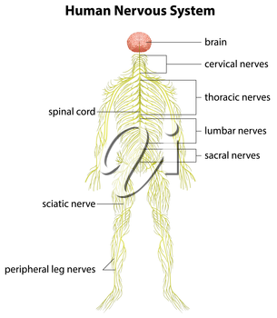 An image showing the human nervous system